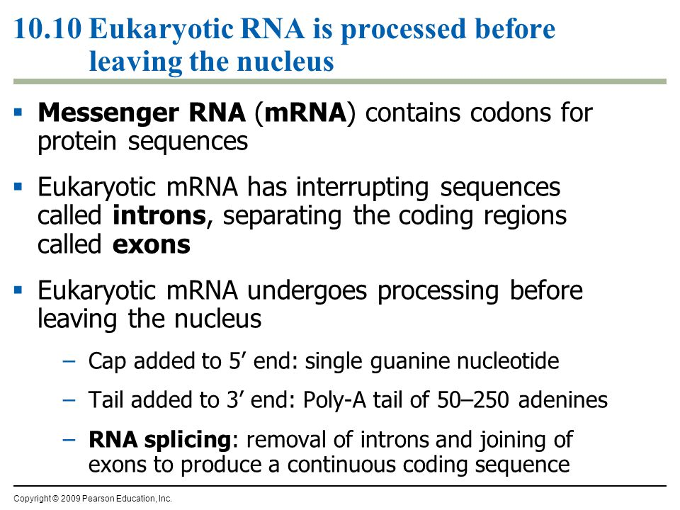 10.10 Eukaryotic RNA is processed before leaving the nucleus  Messenger RNA (mRNA) contains codons for protein sequences  Eukaryotic mRNA has interr