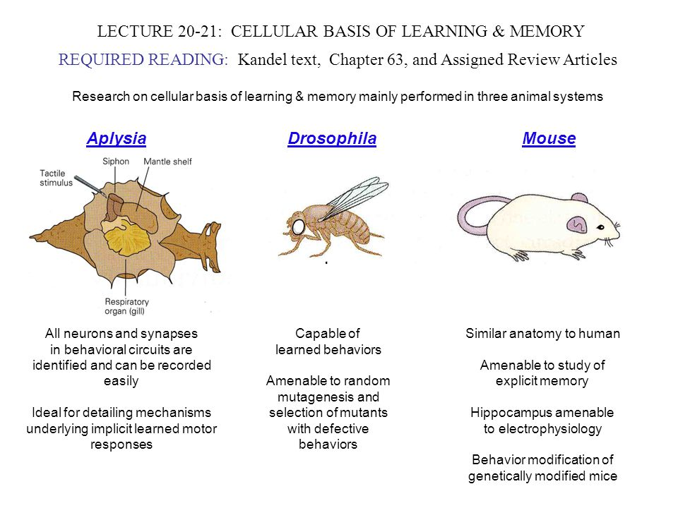 LECTURE 20-21: CELLULAR BASIS OF LEARNING & MEMORY REQUIRED READING: Kandel text, Chapter 63, and Assigned Review Articles Research on cellular basis of learning & memory mainly performed in three animal systems Aplysia Drosophila Mouse All neurons and synapses in behavioral circuits are identified and can be recorded easily Ideal for detailing mechanisms underlying implicit learned motor responses Capable of learned behaviors Amenable to random mutagenesis and selection of mutants with defective behaviors Similar anatomy to human Amenable to study of explicit memory Hippocampus amenable to electrophysiology Behavior modification of genetically modified mice
