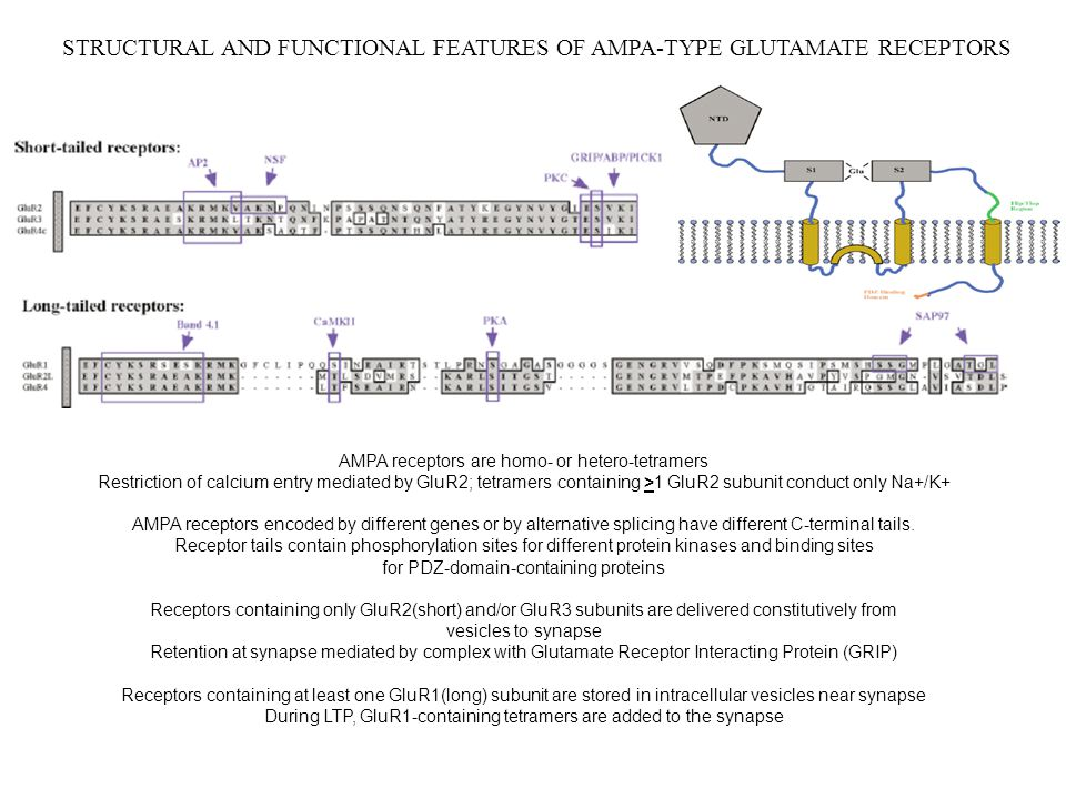 STRUCTURAL AND FUNCTIONAL FEATURES OF AMPA-TYPE GLUTAMATE RECEPTORS AMPA receptors are homo- or hetero-tetramers Restriction of calcium entry mediated by GluR2; tetramers containing >1 GluR2 subunit conduct only Na+/K+ AMPA receptors encoded by different genes or by alternative splicing have different C-terminal tails.