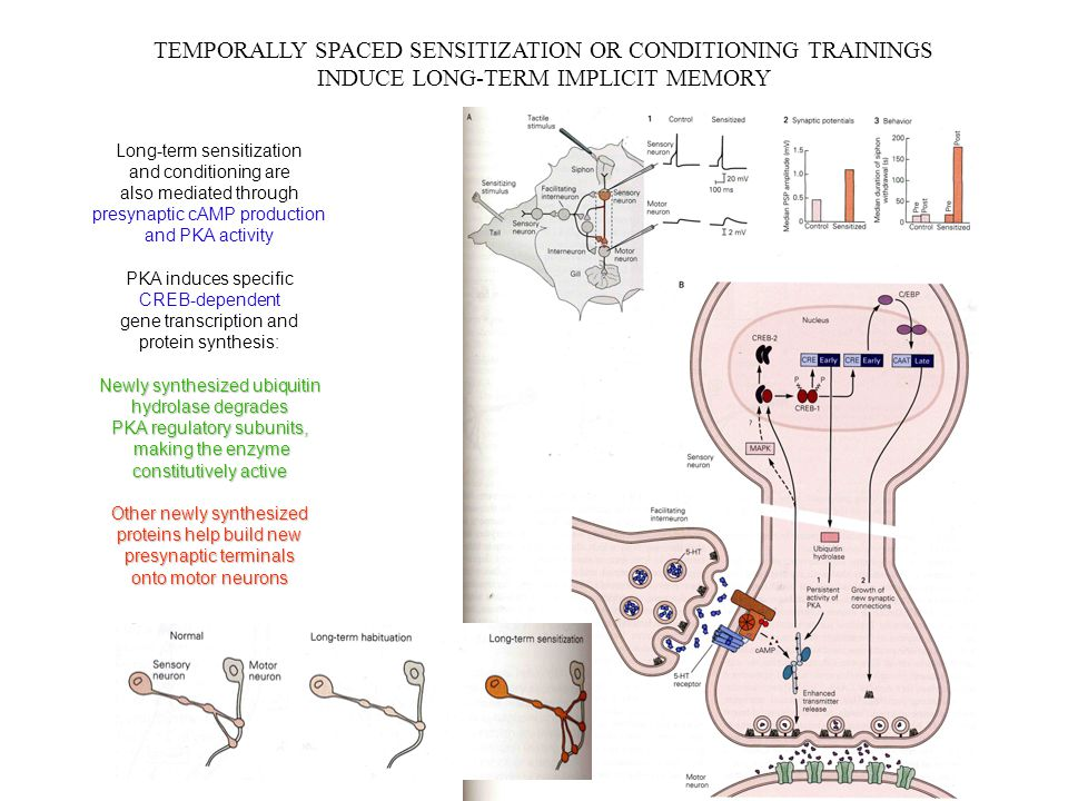 TEMPORALLY SPACED SENSITIZATION OR CONDITIONING TRAININGS INDUCE LONG-TERM IMPLICIT MEMORY Long-term sensitization and conditioning are also mediated through presynaptic cAMP production and PKA activity PKA induces specific CREB-dependent gene transcription and protein synthesis: Newly synthesized ubiquitin hydrolase degrades PKA regulatory subunits, making the enzyme making the enzyme constitutively active Other newly synthesized proteins help build new presynaptic terminals onto motor neurons