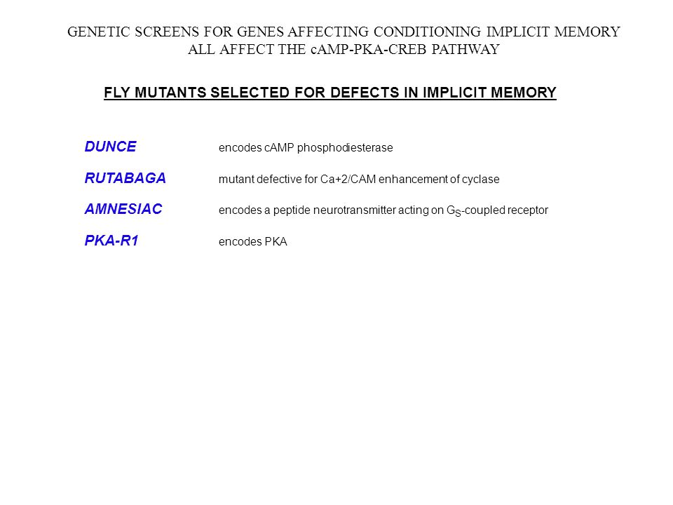 GENETIC SCREENS FOR GENES AFFECTING CONDITIONING IMPLICIT MEMORY ALL AFFECT THE cAMP-PKA-CREB PATHWAY FLY MUTANTS SELECTED FOR DEFECTS IN IMPLICIT MEMORY DUNCE encodes cAMP phosphodiesterase RUTABAGA mutant defective for Ca+2/CAM enhancement of cyclase AMNESIAC encodes a peptide neurotransmitter acting on G S -coupled receptor PKA-R1 encodes PKA