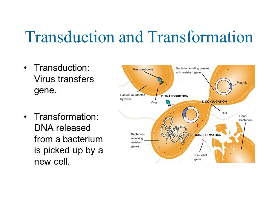 Transduction and Transformation Transduction: Virus transfers gene.