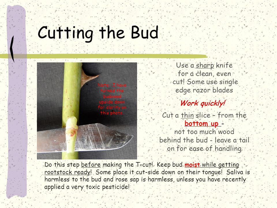 Cutting the Bud Use a sharp knife for a clean, even cut.