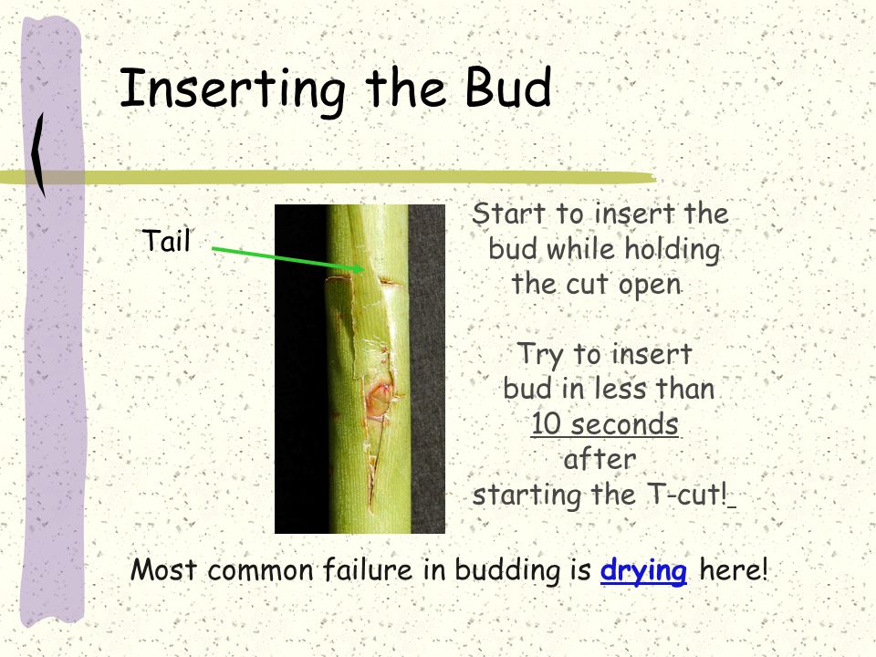 Inserting the Bud Start to insert the bud while holding the cut open Try to insert bud in less than 10 seconds after starting the T-cut.