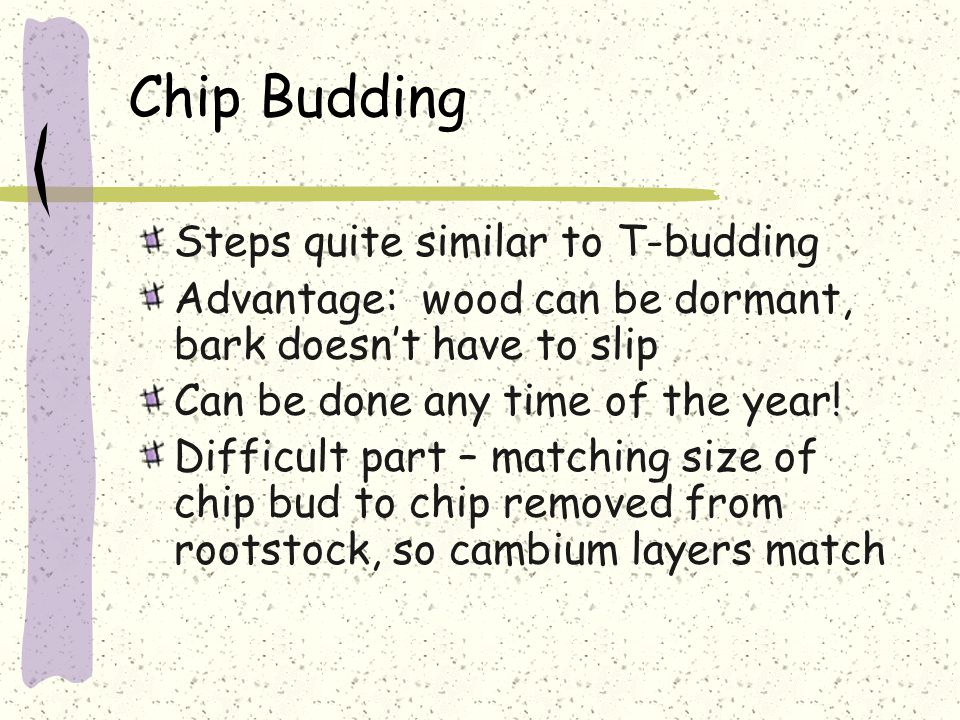 Chip Budding Steps quite similar to T-budding Advantage: wood can be dormant, bark doesn't have to slip Can be done any time of the year.