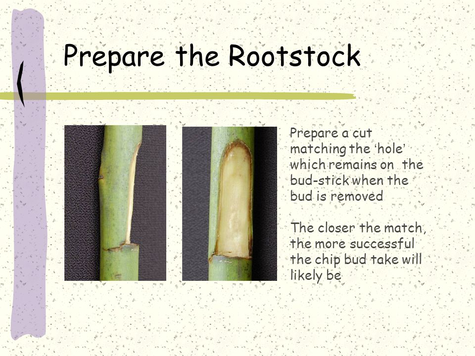 Prepare the Rootstock Prepare a cut matching the 'hole' which remains on the bud-stick when the bud is removed The closer the match, the more successful the chip bud take will likely be
