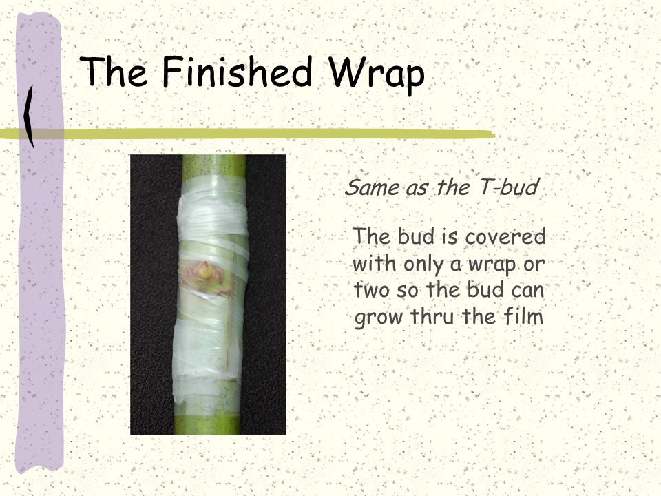 The Finished Wrap The bud is covered with only a wrap or two so the bud can grow thru the film Same as the T-bud