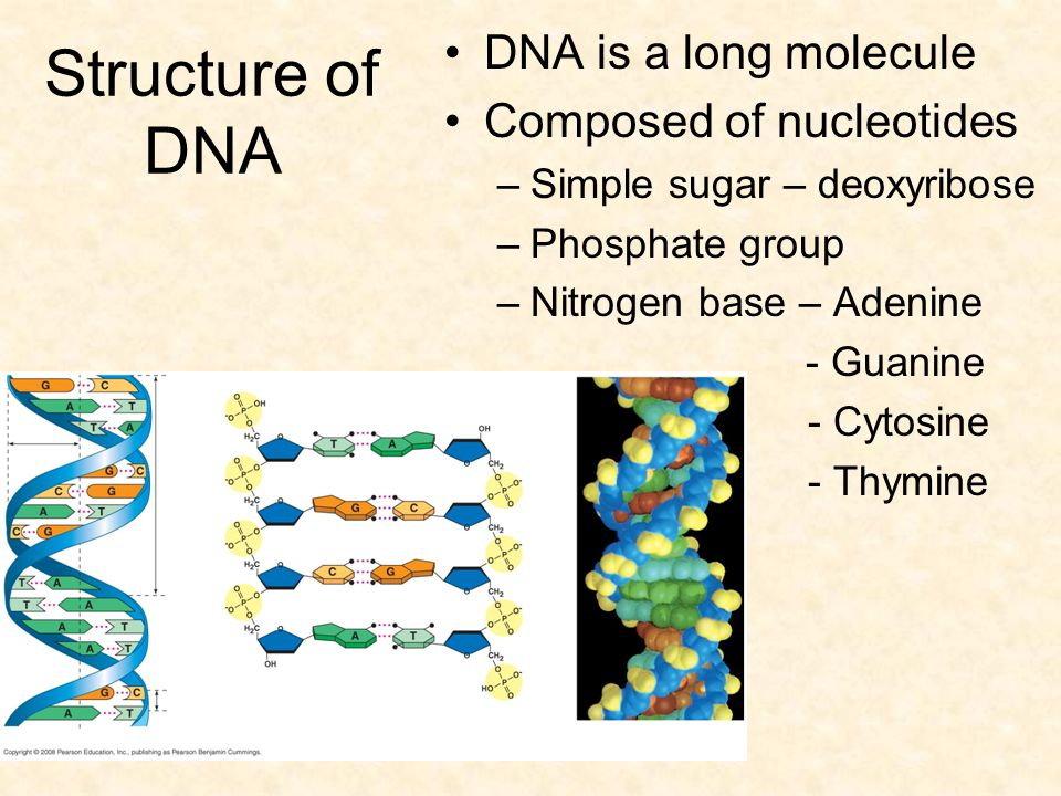 Structure of DNA DNA is a long molecule Composed of nucleotides –Simple sugar – deoxyribose –Phosphate group –Nitrogen base – Adenine - Guanine - Cyto