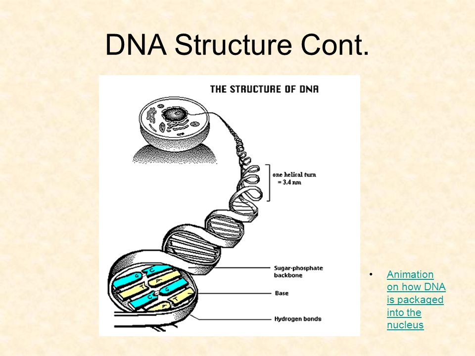 DNA Structure Cont. Animation on how DNA is packaged into the nucleusAnimation on how DNA is packaged into the nucleus