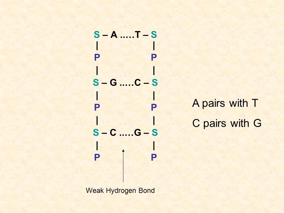 S – A..…T – S | | P | S – G..…C – S | P| S – C..…G – S|P A pairs with T C pairs with G Weak Hydrogen Bond