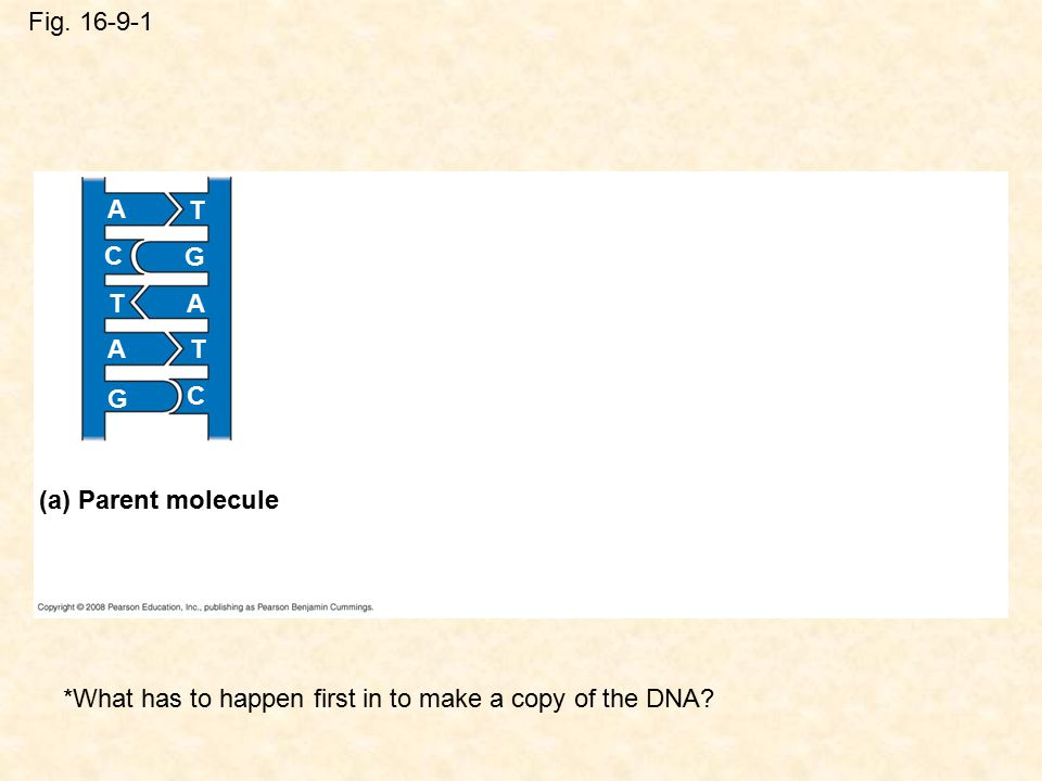 Fig. 16-9-1 A T G C TA TA G C (a) Parent molecule *What has to happen first in to make a copy of the DNA?