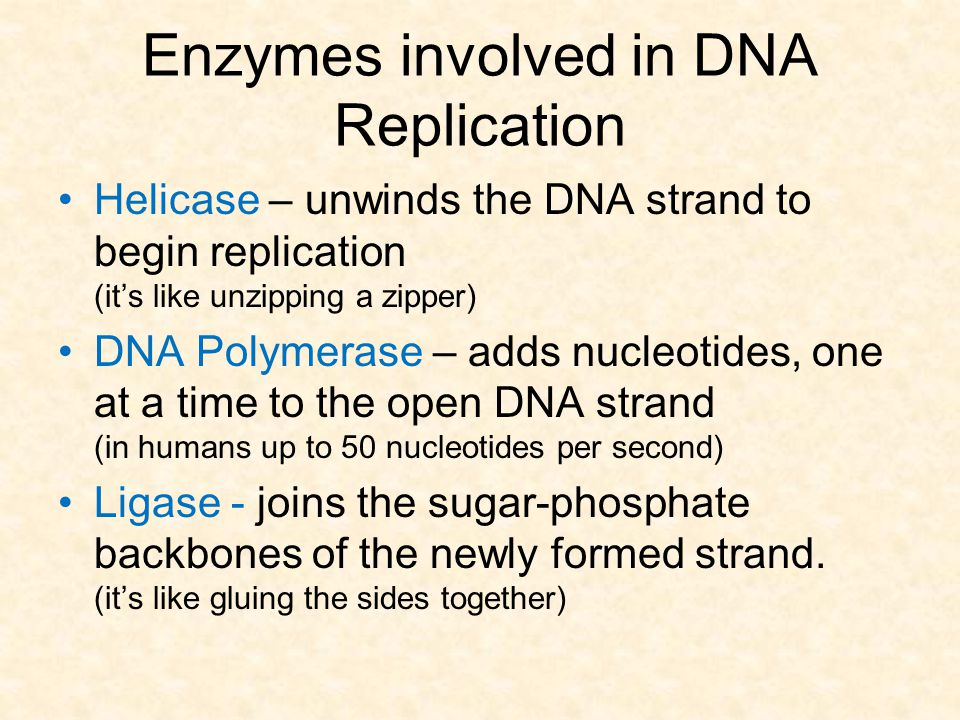 Enzymes involved in DNA Replication Helicase – unwinds the DNA strand to begin replication (it's like unzipping a zipper) DNA Polymerase – adds nucleo