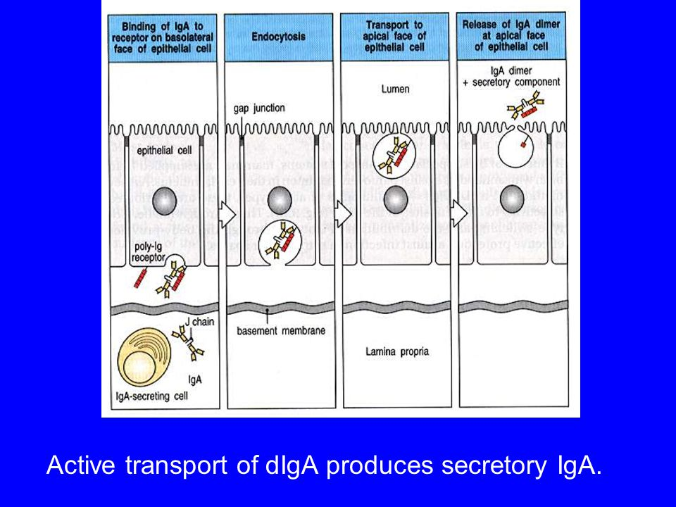 Active transport of dIgA produces secretory IgA.