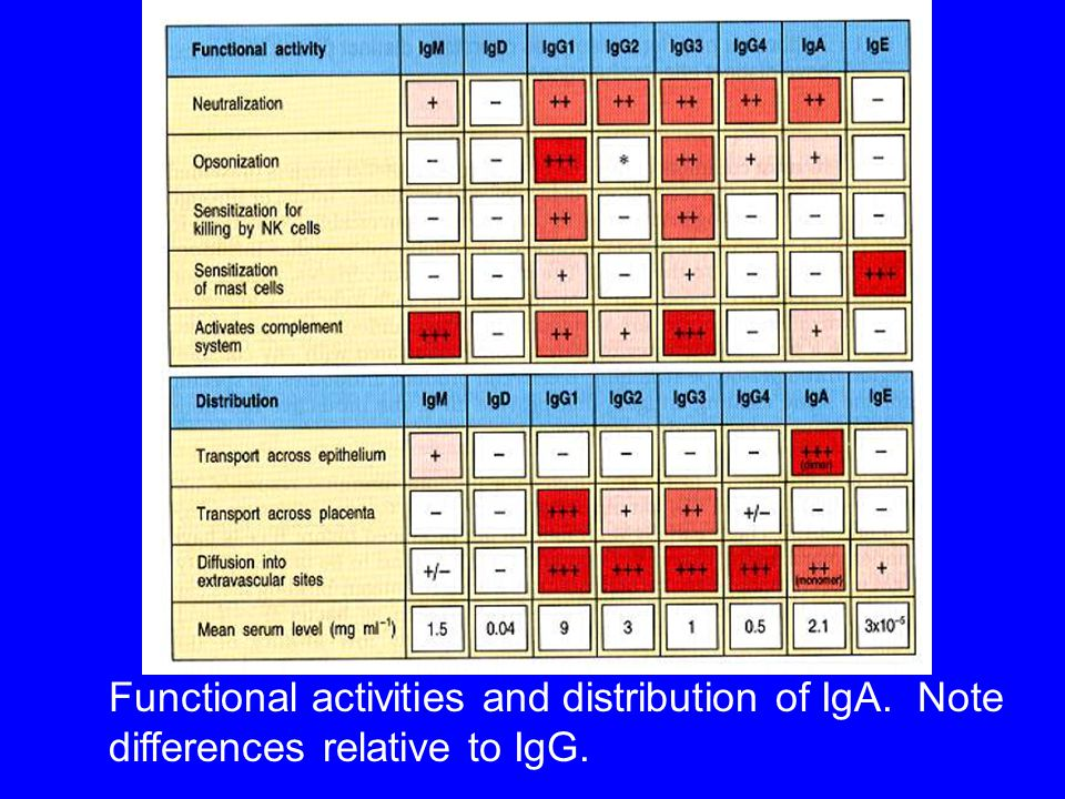 Functional activities and distribution of IgA. Note differences relative to IgG.