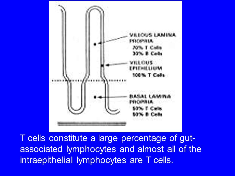 T cells constitute a large percentage of gut- associated lymphocytes and almost all of the intraepithelial lymphocytes are T cells.