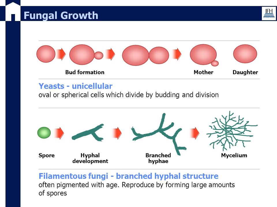 Fungal Growth Yeasts - unicellular oval or spherical cells which divide by budding and division MotherBud formation Filamentous fungi - branched hypha