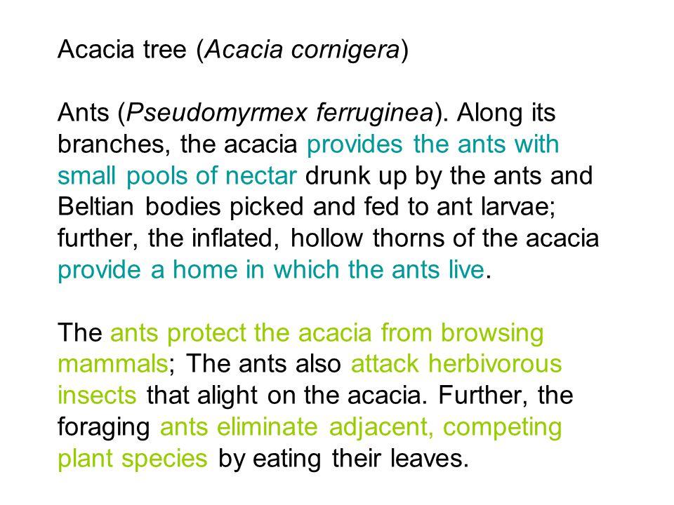 Acacia tree (Acacia cornigera) Ants (Pseudomyrmex ferruginea).