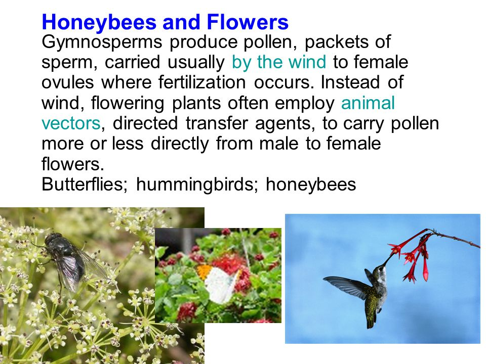 Gymnosperms produce pollen, packets of sperm, carried usually by the wind to female ovules where fertilization occurs.