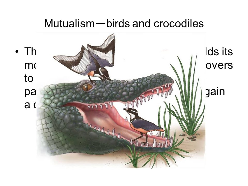 Mutualism — birds and crocodiles This African crocodile relaxes and holds its mouth open.
