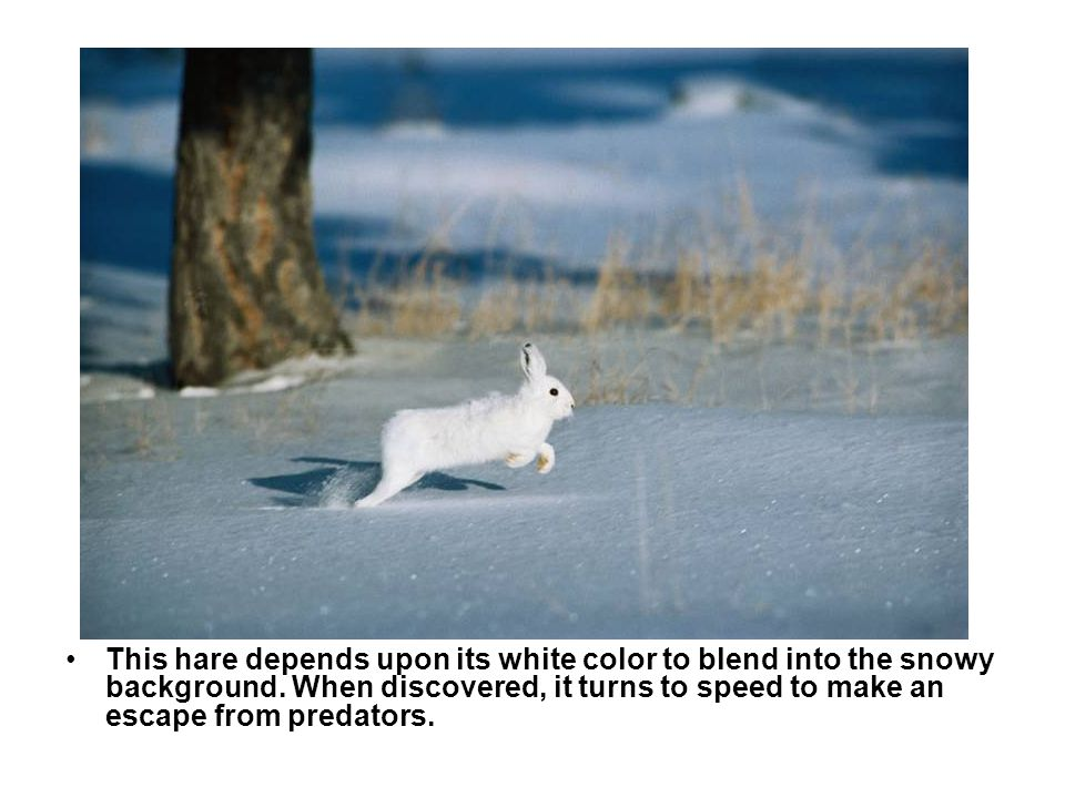 Camouflage — arctic hare This hare depends upon its white color to blend into the snowy background.