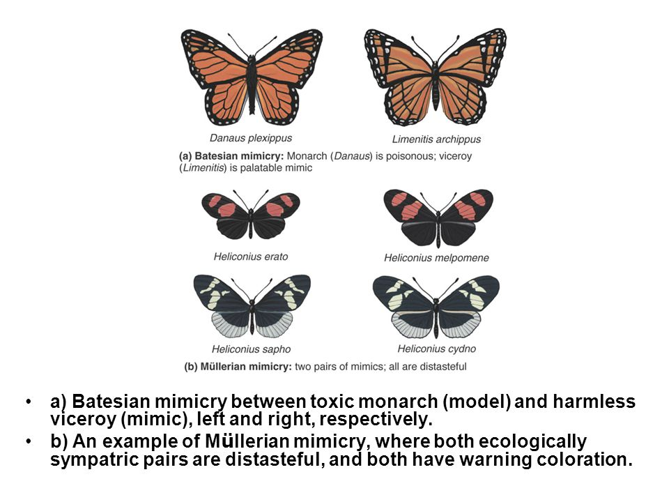 Mimicry II a) Batesian mimicry between toxic monarch (model) and harmless viceroy (mimic), left and right, respectively.