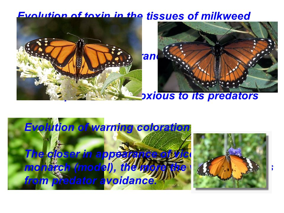 Evolution of toxin in the tissues of milkweed plants.
