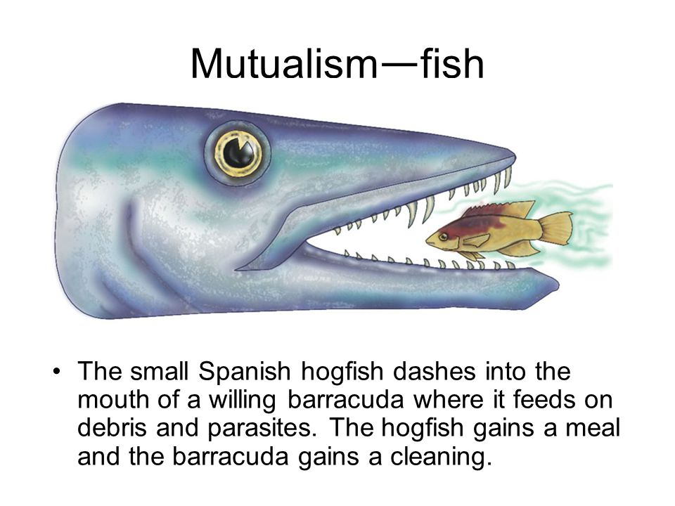 Mutualism — fish The small Spanish hogfish dashes into the mouth of a willing barracuda where it feeds on debris and parasites.
