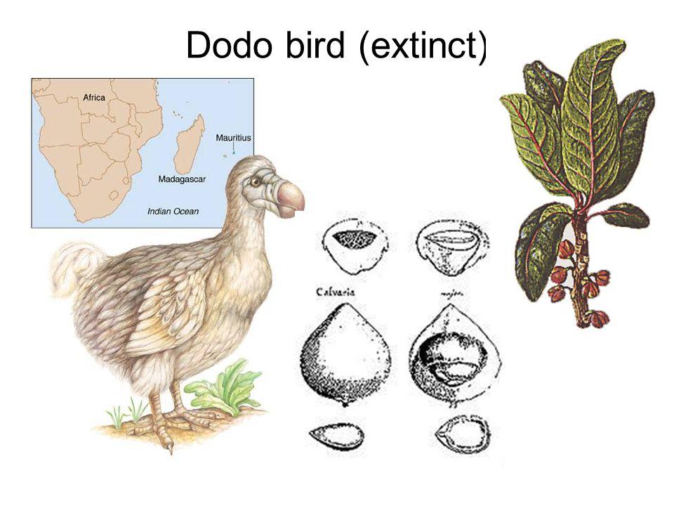 Dodo bird (extinct)
