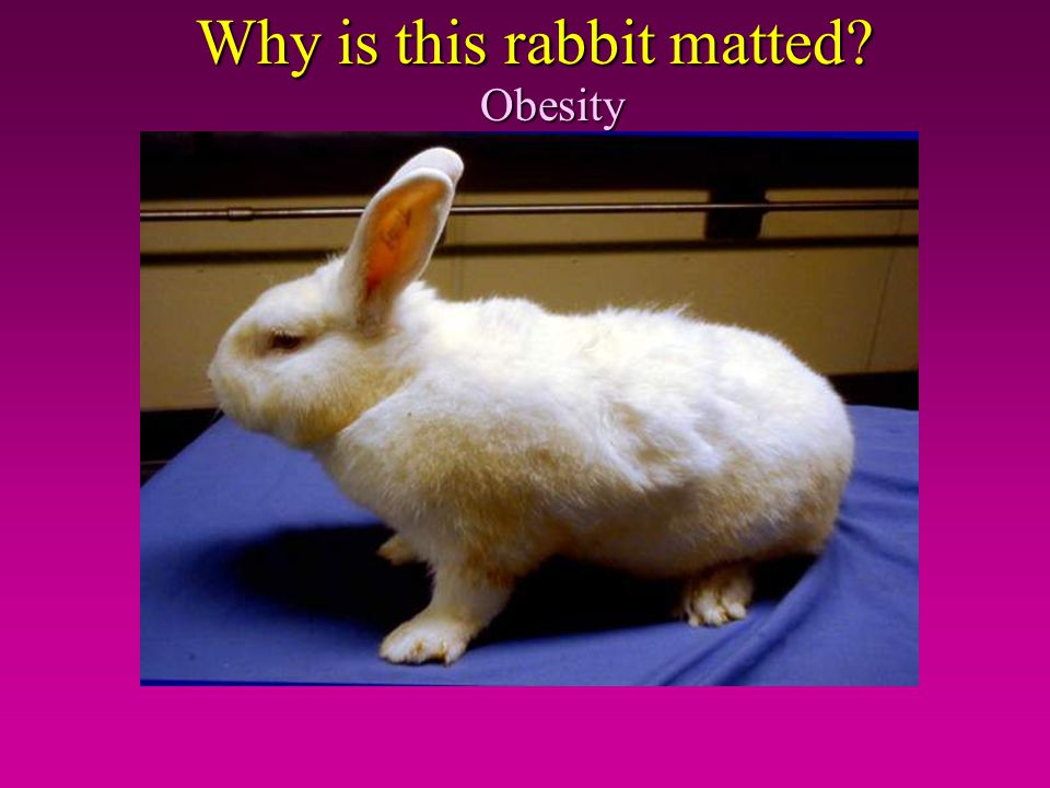 Why is this rabbit matted? Obesity