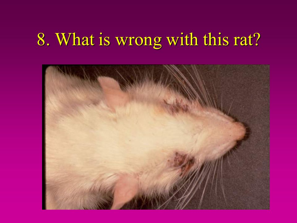 8. What is wrong with this rat?