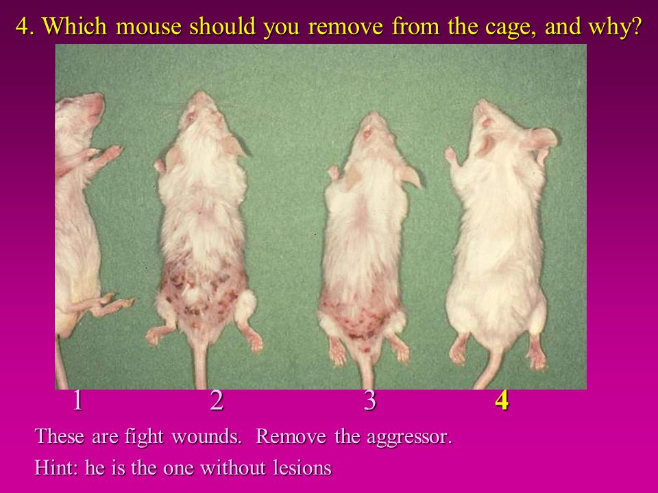 4. Which mouse should you remove from the cage, and why? 1 2 3 4 1 2 3 4 These are fight wounds. Remove the aggressor. Hint: he is the one without les