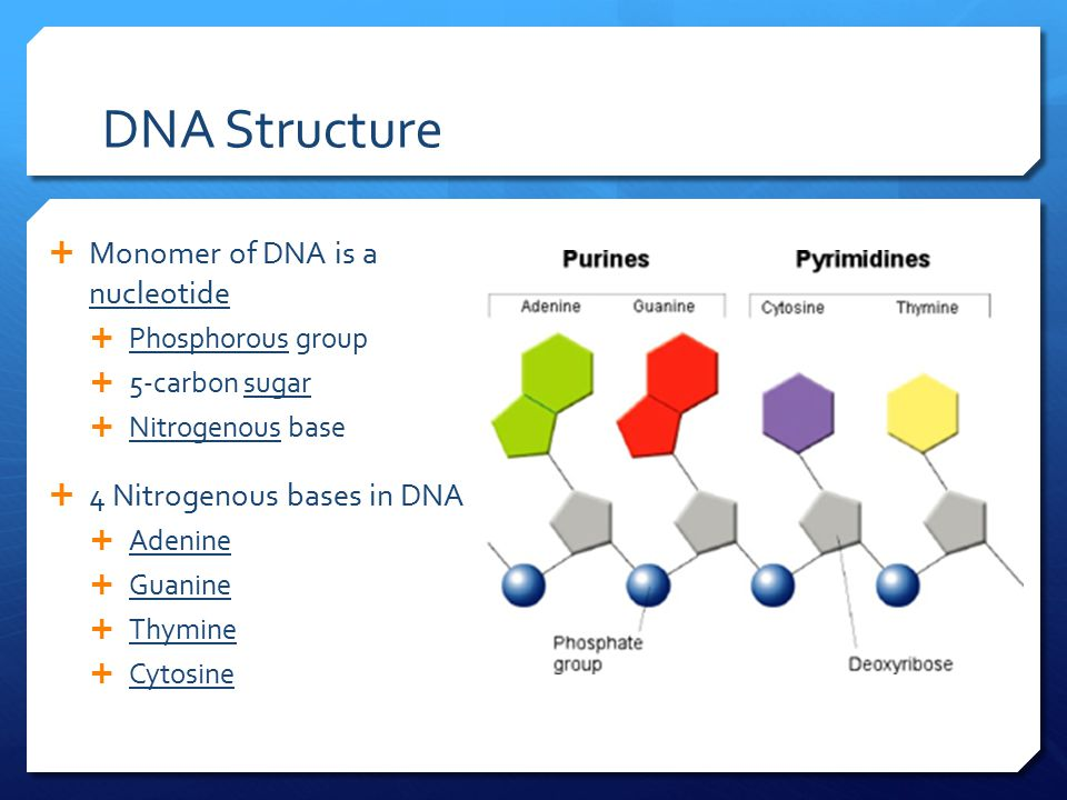 DNA Structure  Monomer of DNA is a nucleotide  Phosphorous group  5-carbon sugar  Nitrogenous base  4 Nitrogenous bases in DNA  Adenine  Guanin