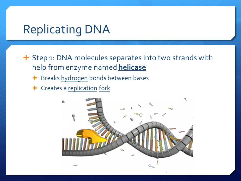 Replicating DNA  Step 1: DNA molecules separates into two strands with help from enzyme named helicase  Breaks hydrogen bonds between bases  Create