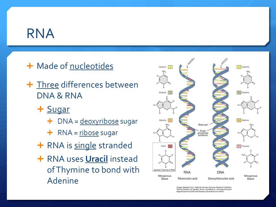 RNA  Made of nucleotides  Three differences between DNA & RNA  Sugar  DNA = deoxyribose sugar  RNA = ribose sugar  RNA is single stranded  RNA