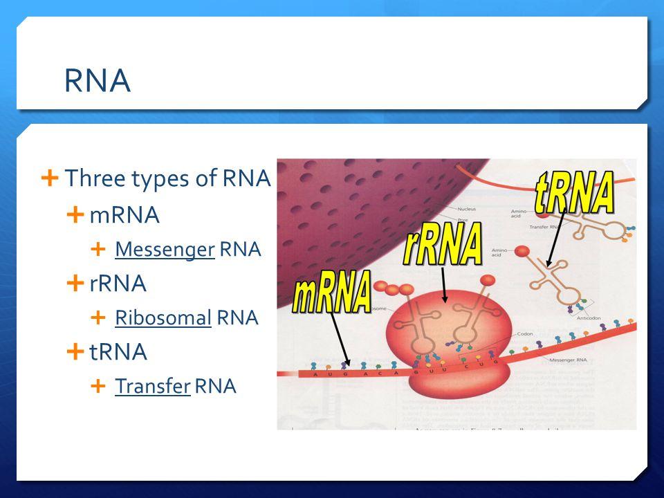 RNA  Three types of RNA  mRNA  Messenger RNA  rRNA  Ribosomal RNA  tRNA  Transfer RNA