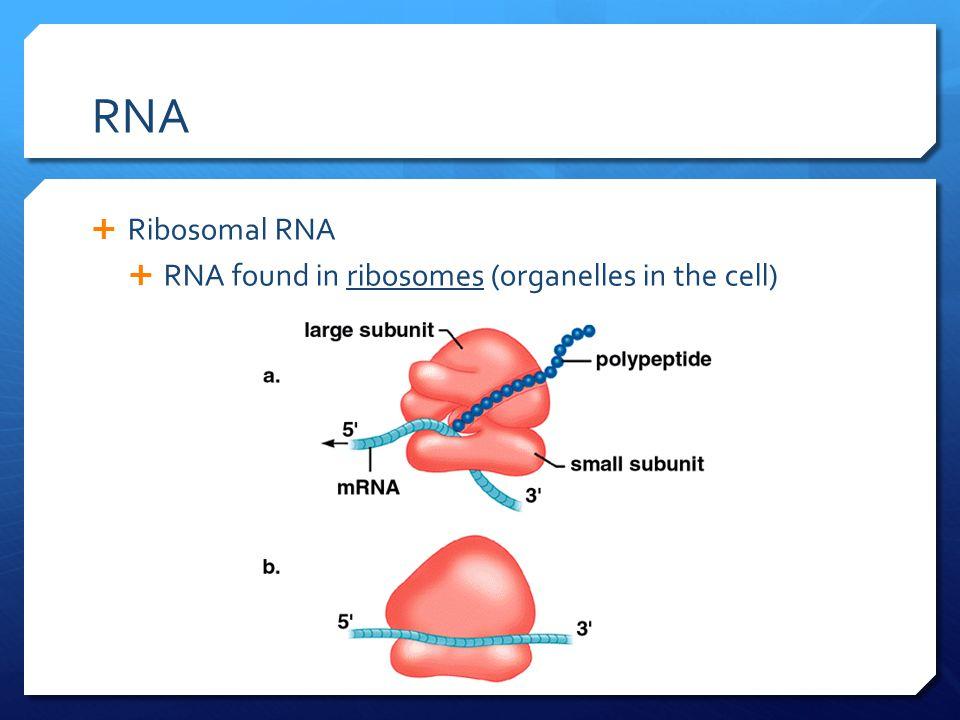 RNA  Ribosomal RNA  RNA found in ribosomes (organelles in the cell)