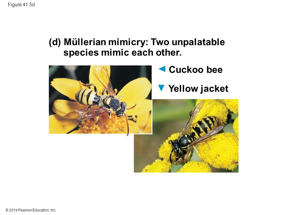 © 2014 Pearson Education, Inc. Figure 41.5d (d) Müllerian mimicry: Two unpalatable species mimic each other. Cuckoo bee Yellow jacket