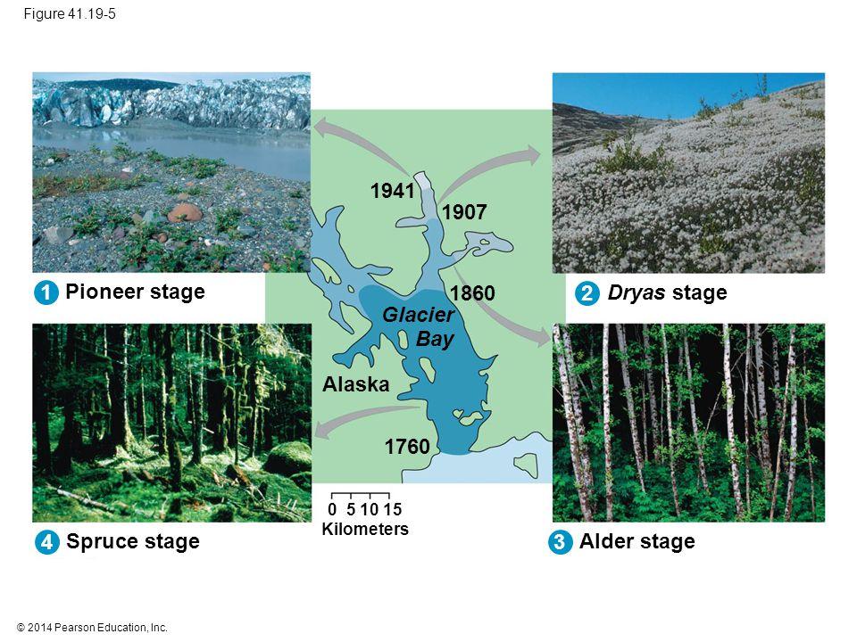 © 2014 Pearson Education, Inc. Figure 41.19-5 Spruce stage Alder stage Pioneer stage Dryas stage Alaska Glacier Bay Kilometers 1941 1907 1860 1760 0 5