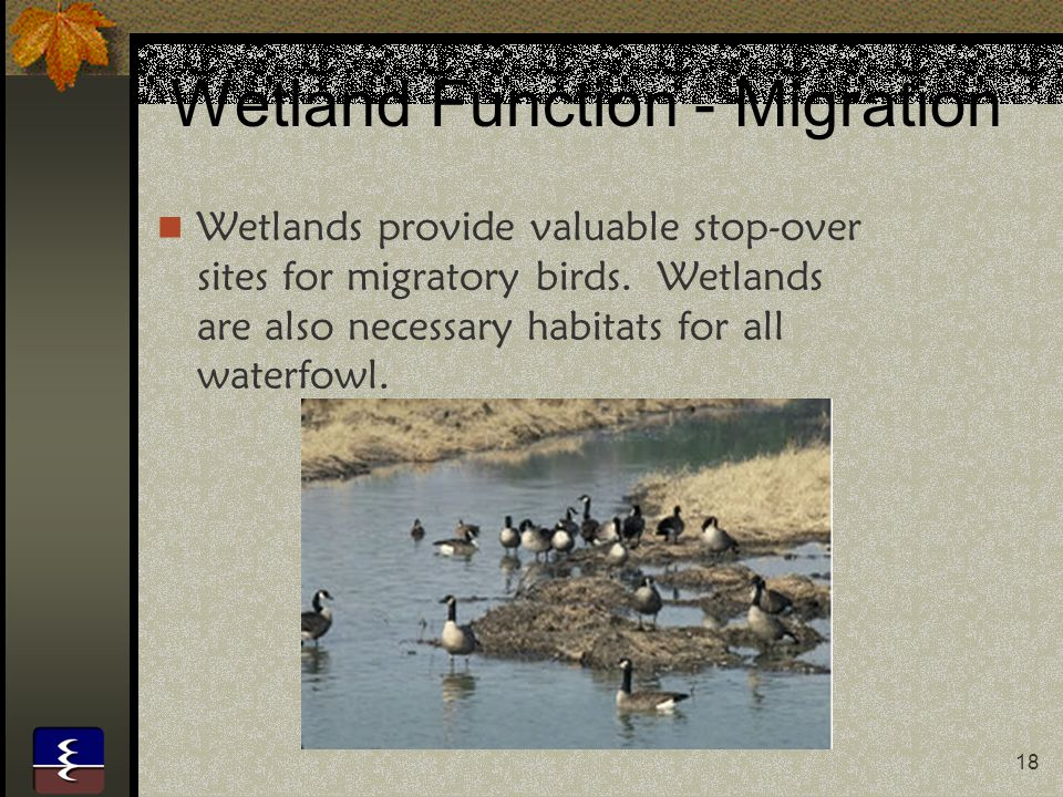 18 Wetland Function - Migration Wetlands provide valuable stop-over sites for migratory birds. Wetlands are also necessary habitats for all waterfowl.