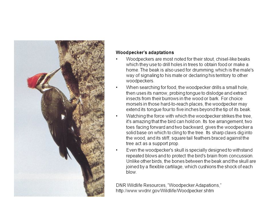 Woodpecker's adaptations Woodpeckers are most noted for their stout, chisel-like beaks which they use to drill holes in trees to obtain food or make a home.