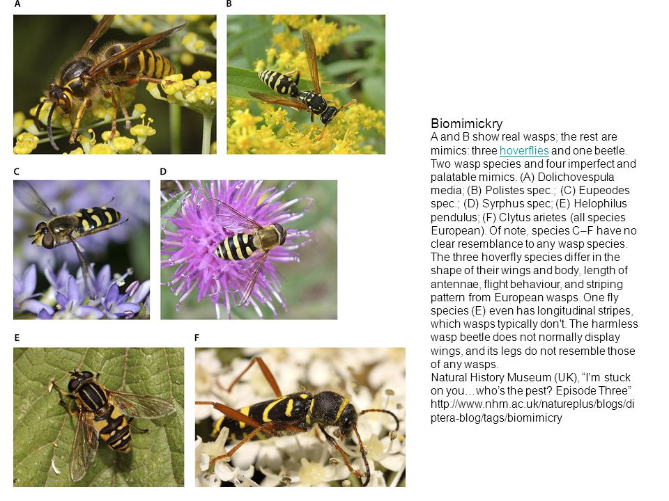 Biomimickry A and B show real wasps; the rest are mimics: three hoverflies and one beetle.hoverflies Two wasp species and four imperfect and palatable mimics.