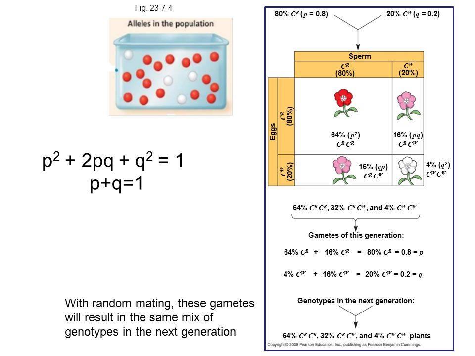 Fig. 23-7-4 Gametes of this generation: 64% C R C R, 32% C R C W, and 4% C W C W 64% C R + 16% C R = 80% C R = 0.8 = p 4% C W + 16% C W = 20% C W = 0.