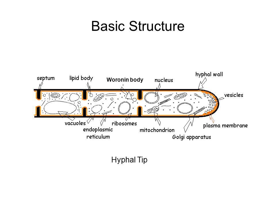 Aspergillus (Anamorph) Mitosporic State Neosartorya (Teleomorph) Sexual State