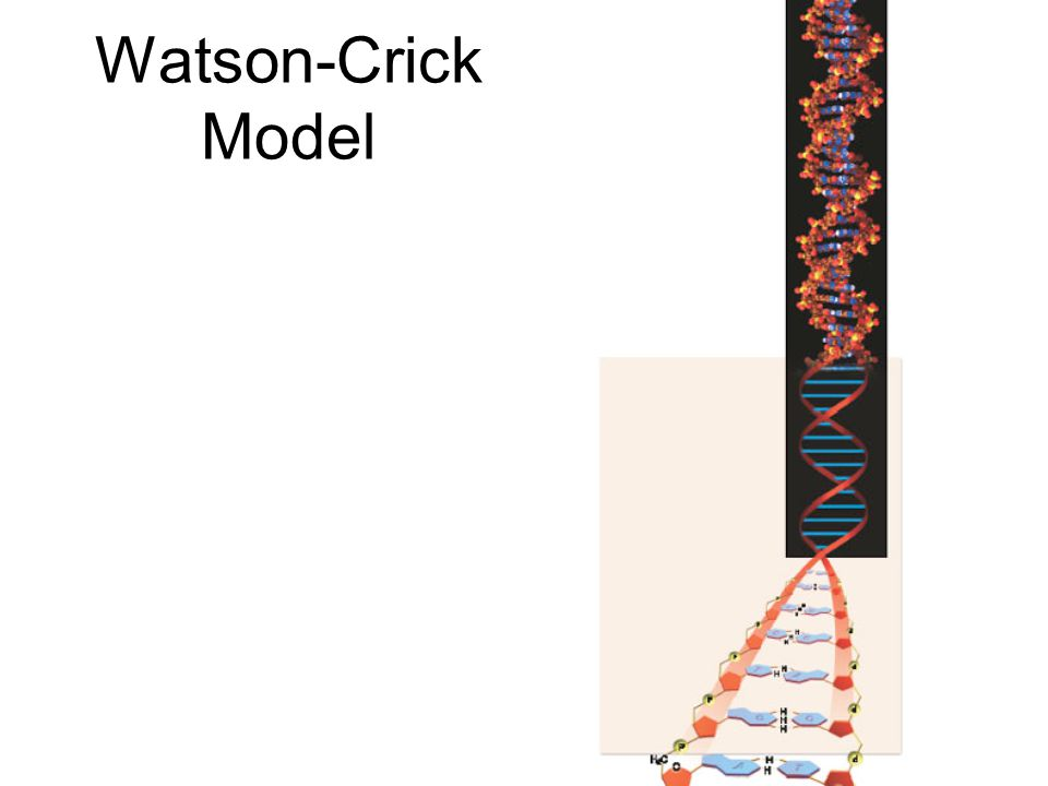 Watson-Crick Model