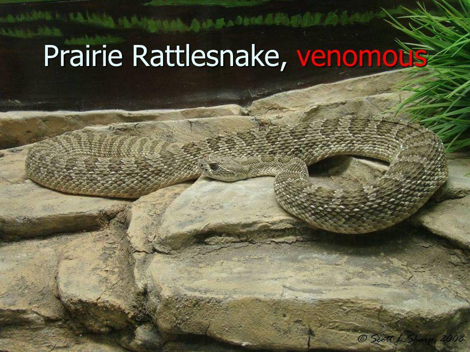 Prairie Rattlesnake, venomous
