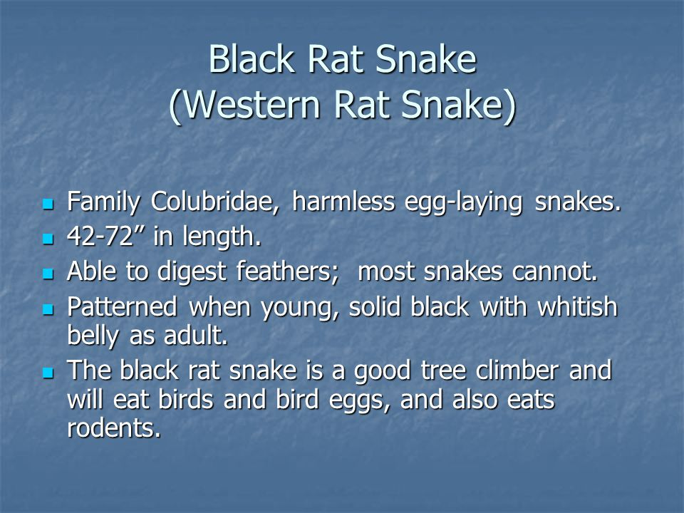 "Black Rat Snake (Western Rat Snake) Family Colubridae, harmless egg-laying snakes. Family Colubridae, harmless egg-laying snakes. 42-72"" in length. 42"