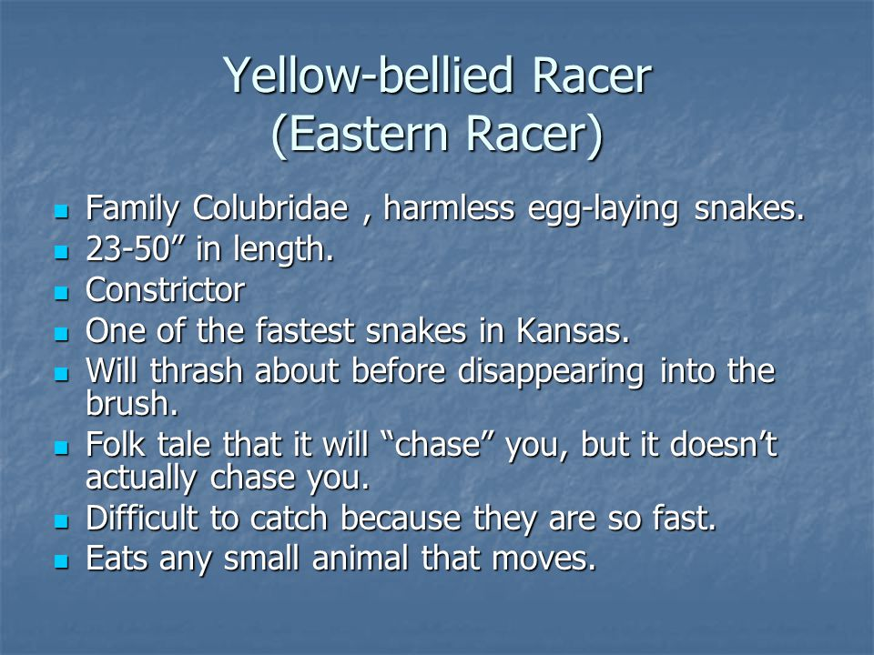 "Yellow-bellied Racer (Eastern Racer) Family Colubridae, harmless egg-laying snakes. Family Colubridae, harmless egg-laying snakes. 23-50"" in length. 2"