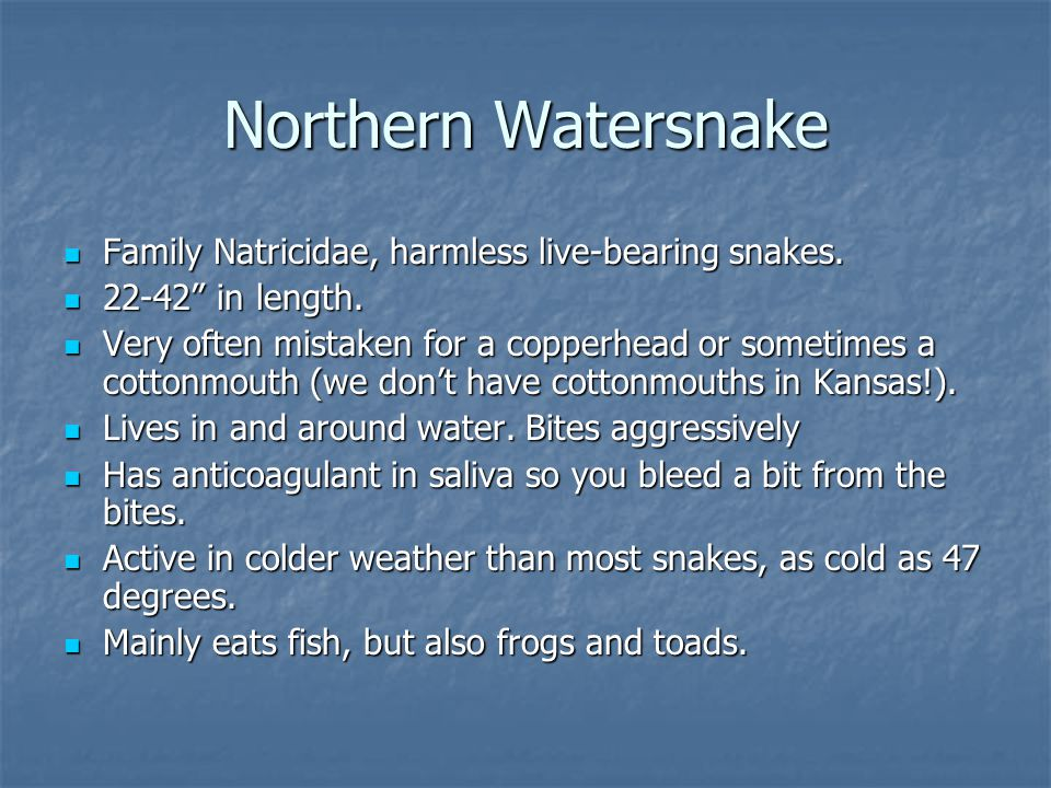 Northern Watersnake Family Natricidae, harmless live-bearing snakes.