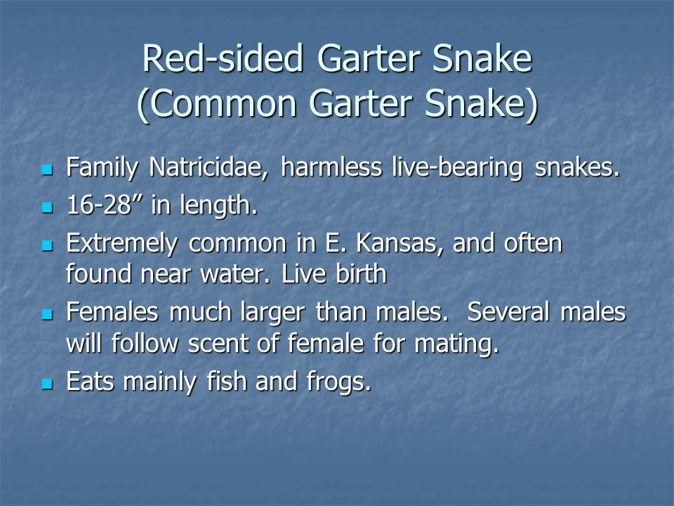 Red-sided Garter Snake (Common Garter Snake) Family Natricidae, harmless live-bearing snakes.