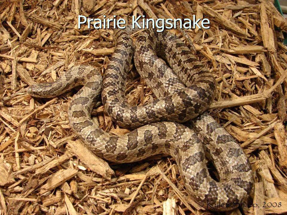 Prairie Kingsnake